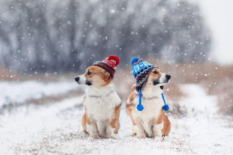 Zimní počasí. Náladové foto. Dva pejsci v čepici.