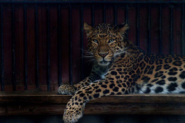 Ležící leopard v ZOO Liberec