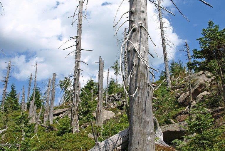 Polomy stromů u vrcholu Jizera v Jizerských horách