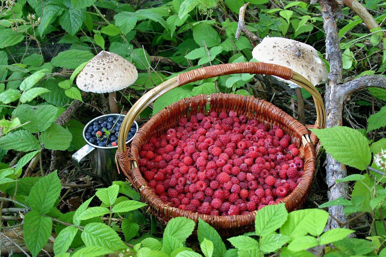 Košík s malinami, borůvky a bedla - přírodní bohatství Jizerských hor