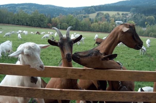Kozy na farmě Pěnčín, Jablonecko - oblíbený výletní cíl pro rodiny s dětmi